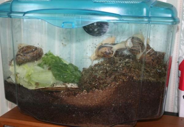 акваримум для ахатины