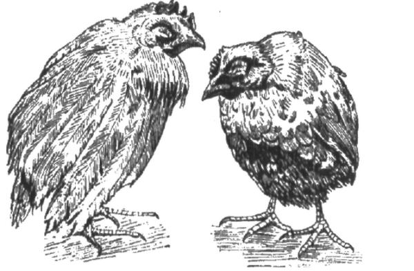 кокцидоз у куриц