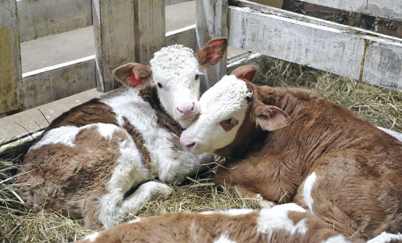 пневмония у теленка