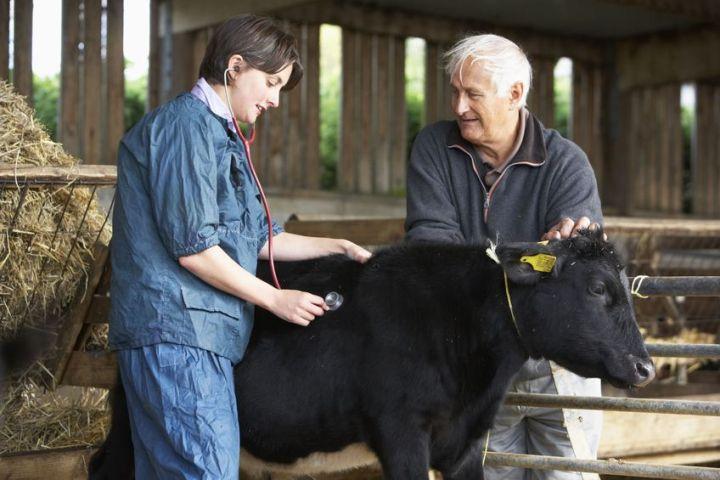 ринотрахеит коров