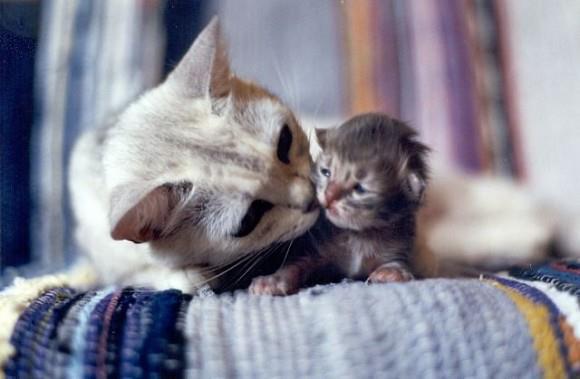 Помощь кошке при родах - Домашние животные