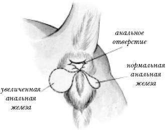 воспаление анальной железы