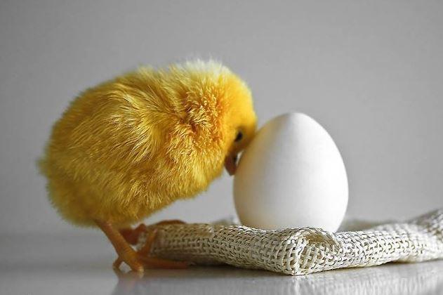 Домашняя птицеферма: выбираем яйца для инкубации или наседки - Домашние животные