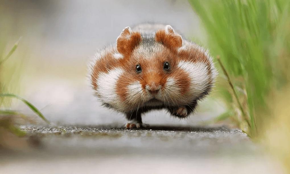 Интересные факты о хомяках - Домашние животные