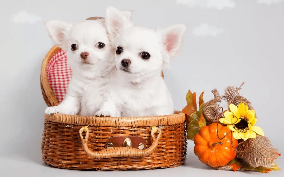 Топ 10 самых маленьких пород собак в мире - Домашние животные