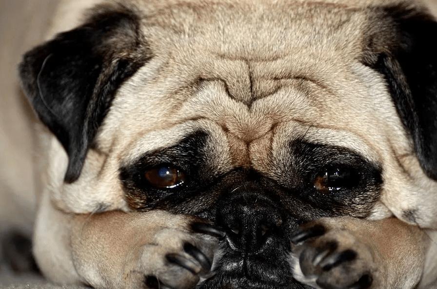 Почему моя собака скулит - причины 14