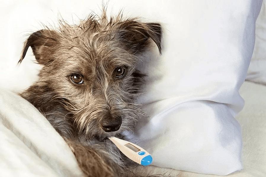 Как проверить температуру у собаки без термометра - Домашние животные