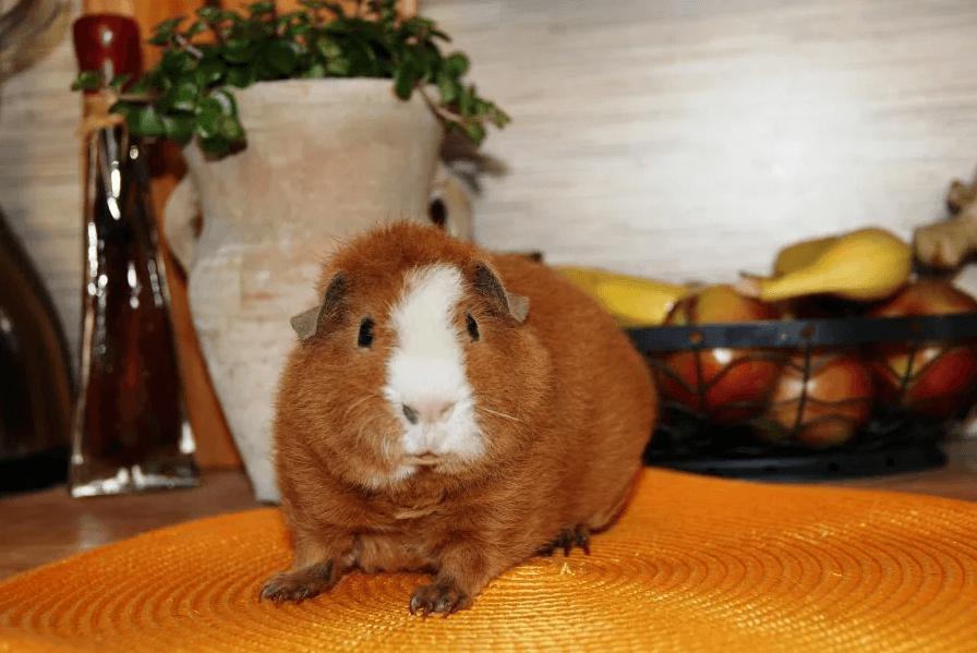 корм для свинок