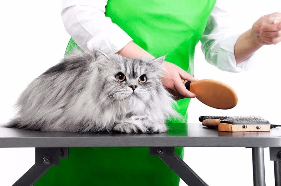 колтуны в шерсти персидской кошки