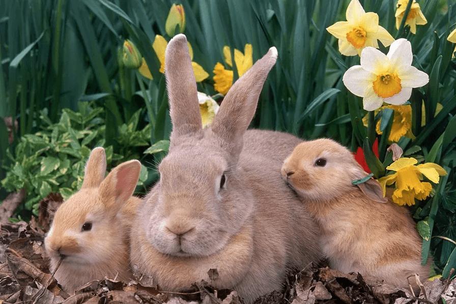 Беременность и роды кроликов