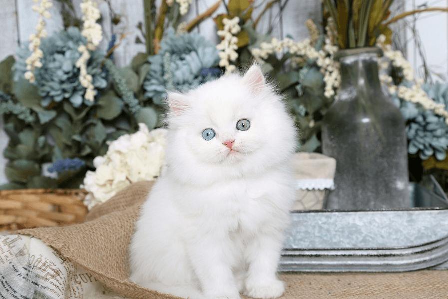 Уход за шерстью персидской кошки
