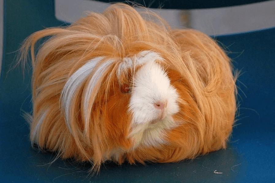 Беременность морских свинок: признаки, содержание и уход - Домашние животные