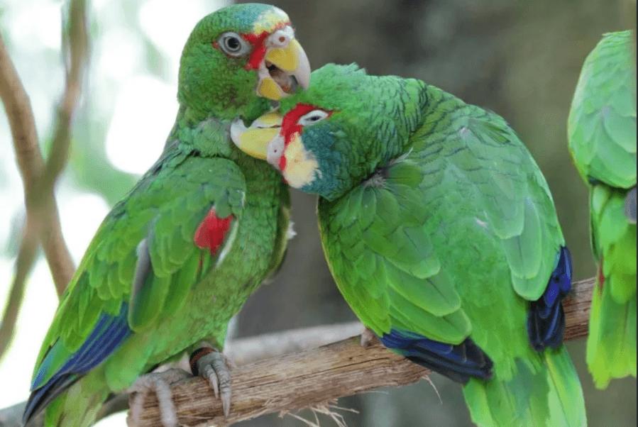 панамский попугай