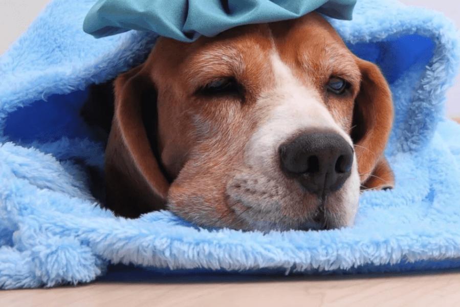 грипп у собаки