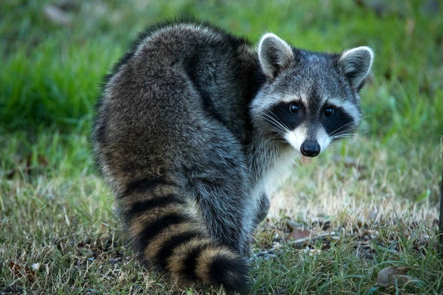 Почему енота называют полоскуном - Домашние животные