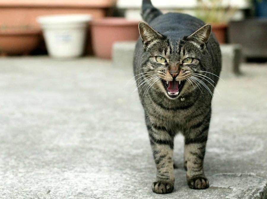 Кошачий характер - кот - боец