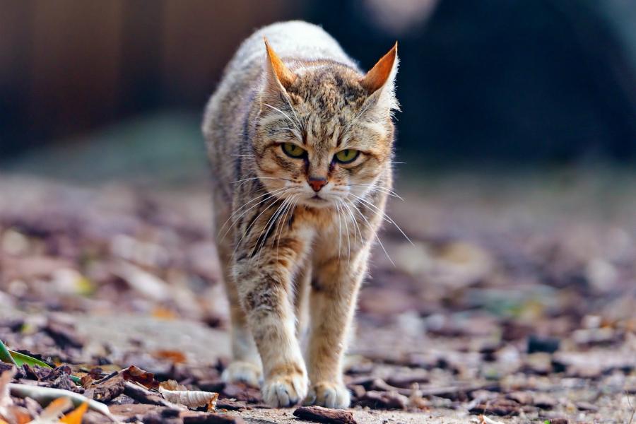 Кошачий характер - кот гуляка
