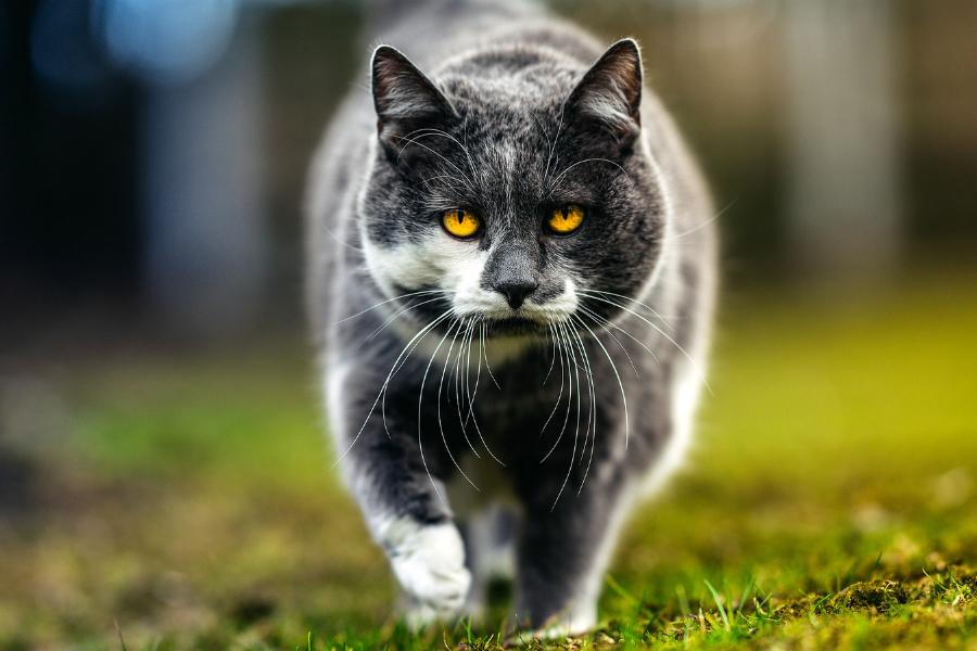 Кошачий характер - кот - пилигрим