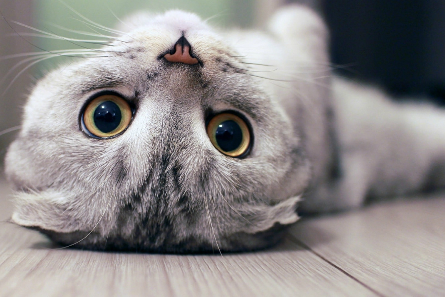 Кошачий характер - кот прилипала