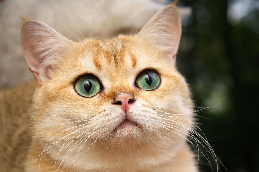 Кошачий характер - кот - хитрец