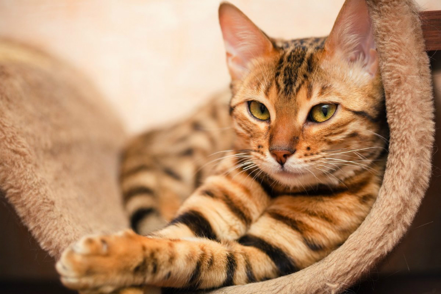 Кошачий характер - кот эгоист